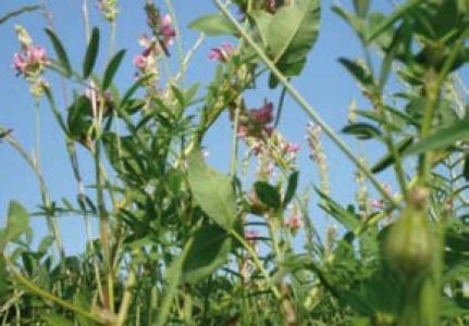 Alternatives pour des prairies et fourrages plus adaptés à la méditerranéisation du climat